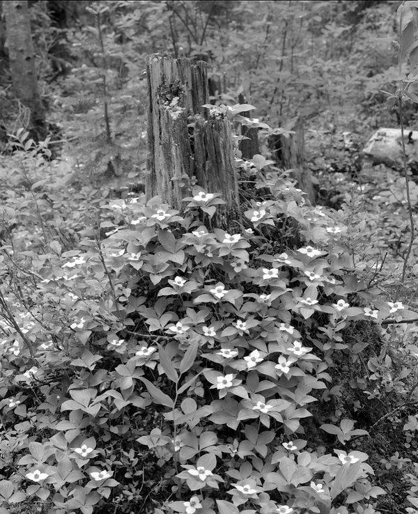 Creeping Dogwood, Wells Gray, BC - June