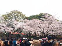 桜の中で 640