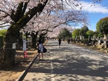 谷中墓地は満開の桜