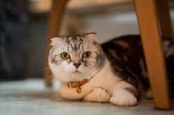 家裡的貓-麵包