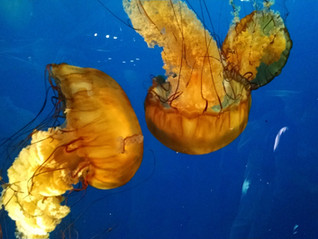 A Consideration for Alien Life: The Jellyfish