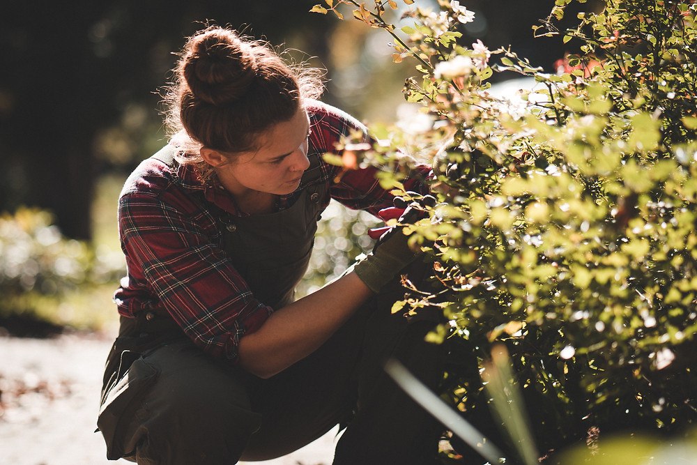 A woman kneeling next to a rose bush, attentively pruning unwanted growth.