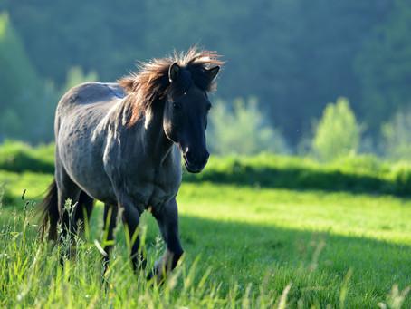 Akupunktur bei Sommerekzem – Fallbericht aus der Pferdepraxis