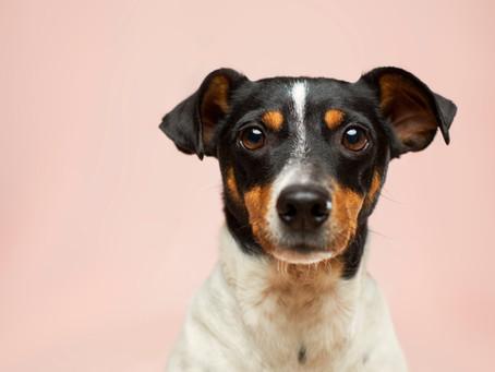 Behandlung einer Thrombozytopenie mittels komplementärmedizinischer Maßnahmen - Fallbericht Hund