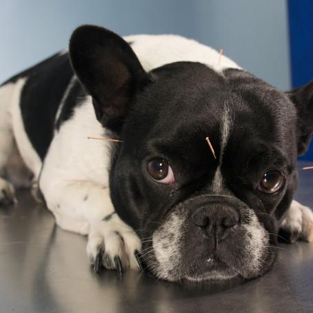 Akupunktur bei idiopathischer Epilepsie -Fallbericht aus der Kleintierpraxis