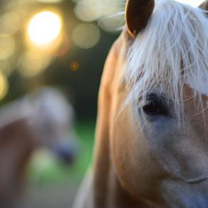 Akupunktur und Vitalpilze bei Hufrehe - Fallbericht aus der Pferdepraxis