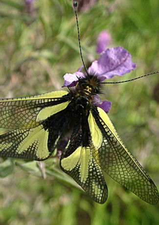 ascalaphus libelluloides.JPG.jpg