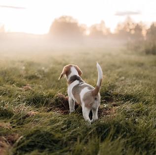 Pienen beaglen iltalenkit