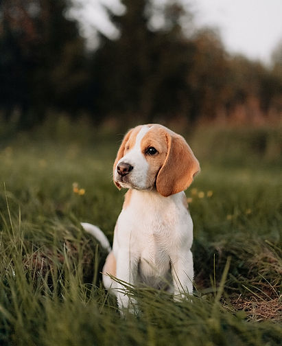 beaglenpentu-beagle-vastavalonkennel_edi