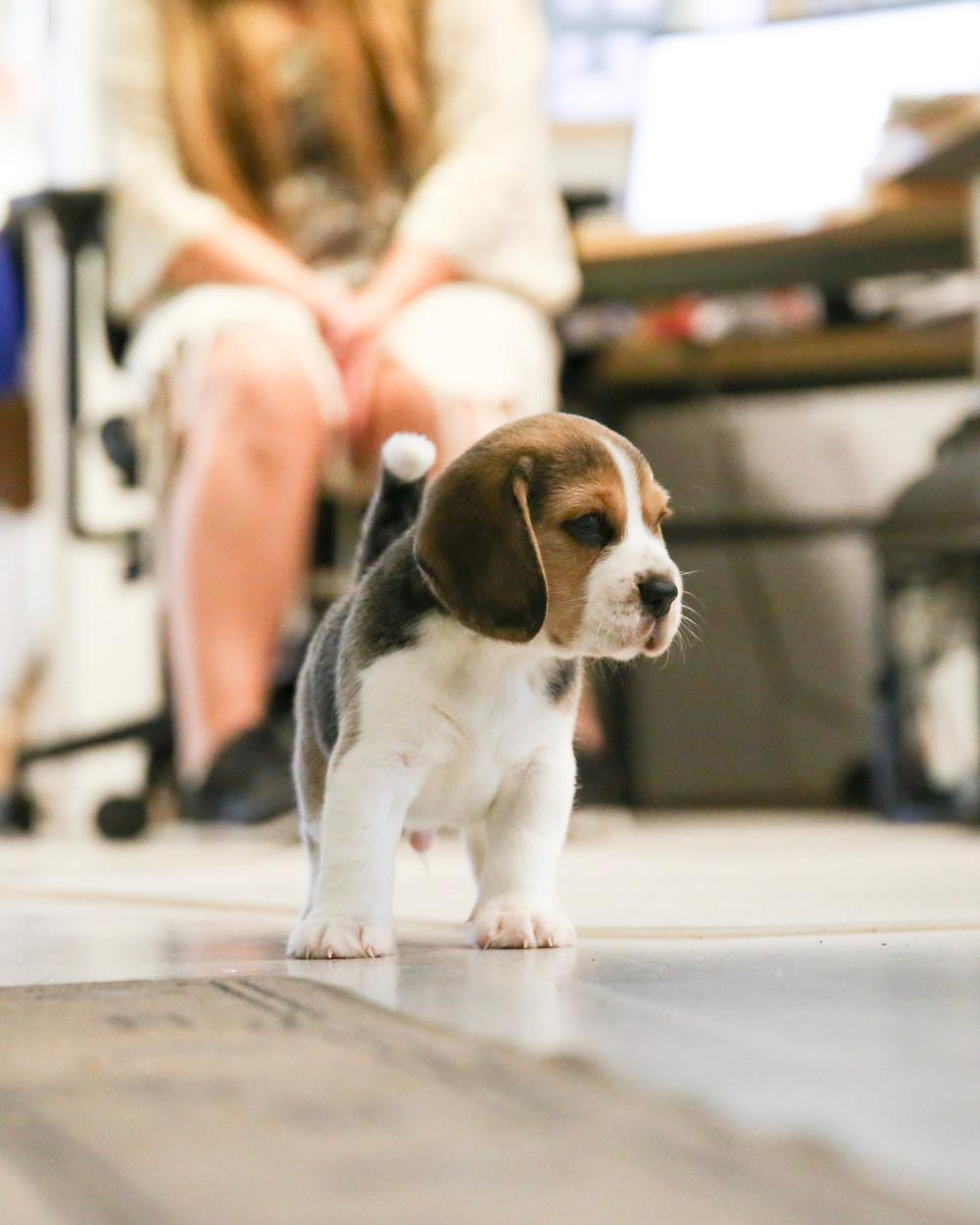 Beaglen pentu, koiranpentu sosiaalistaminen. Koiranpentu toimistossa tutustumassa ihmisiin ja uusiin hajuihin. Koiranpennun totuttaminen ääniin ja ihmisiin.