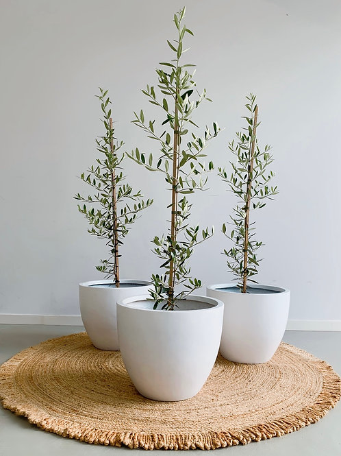 SMALL OLIVE TREES