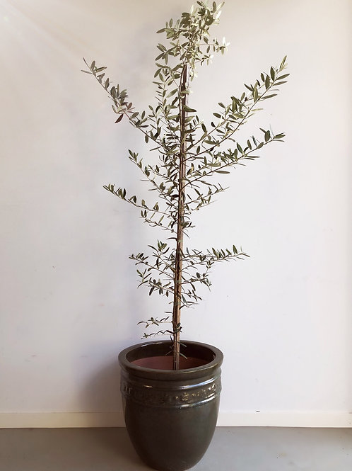 LARGE OLIVE TREE WITH POT INCLUDED