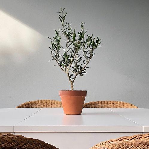 MINI OLIVE TREE