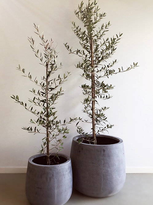 2 x OLIVE TREES WITH POTS INCLUDED
