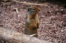glacier squirrel