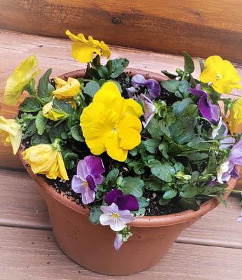 "9"" Spring Pansy Pot"