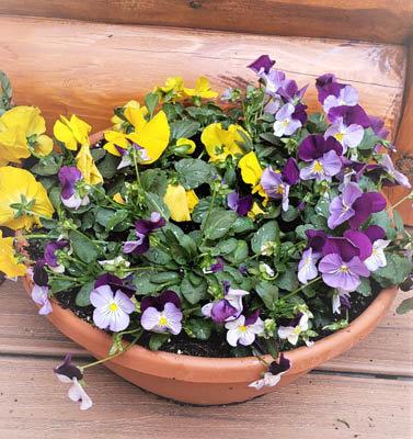 "12"" Spring Pansy Bowl"
