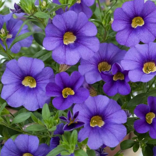 calibrachoa_mega_violet.jpg