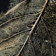 Leaf Skeleton #8
