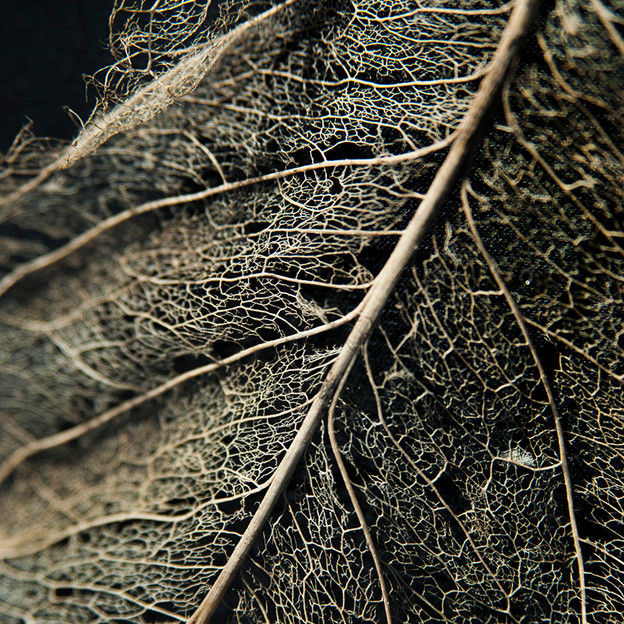 LeafSkeleton05.jpg