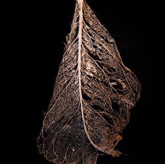 Leaf Skeleton #5