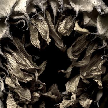 Sunflower #1, 2008