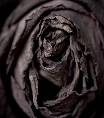 Rose #2, 2008