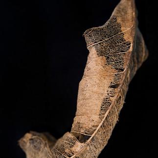 Leaf Skeleton #7