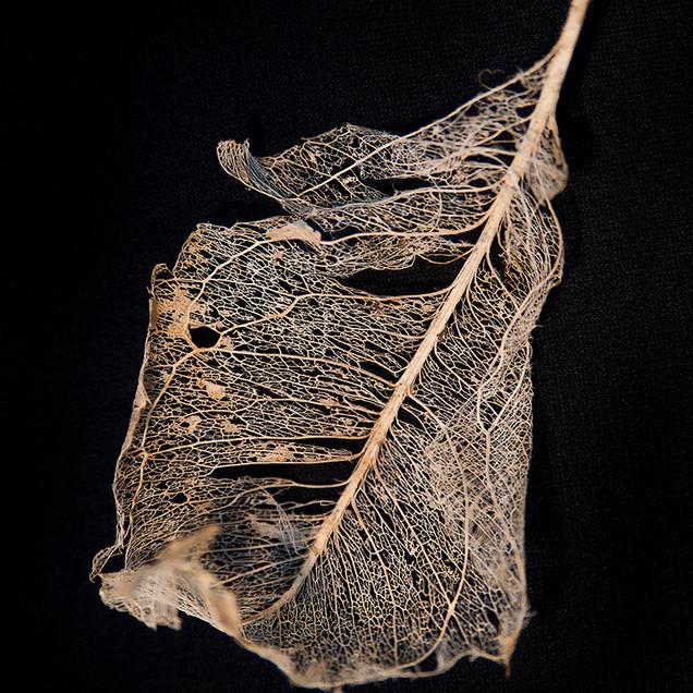 Leaf Skeleton #4