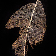 Leaf Skeleton #3