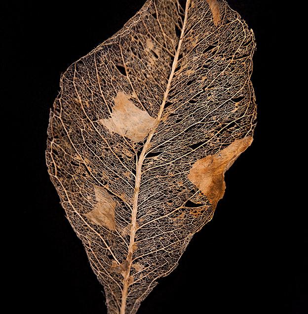 Leaf Skeleton #2