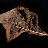 Leaf Skeleton #1