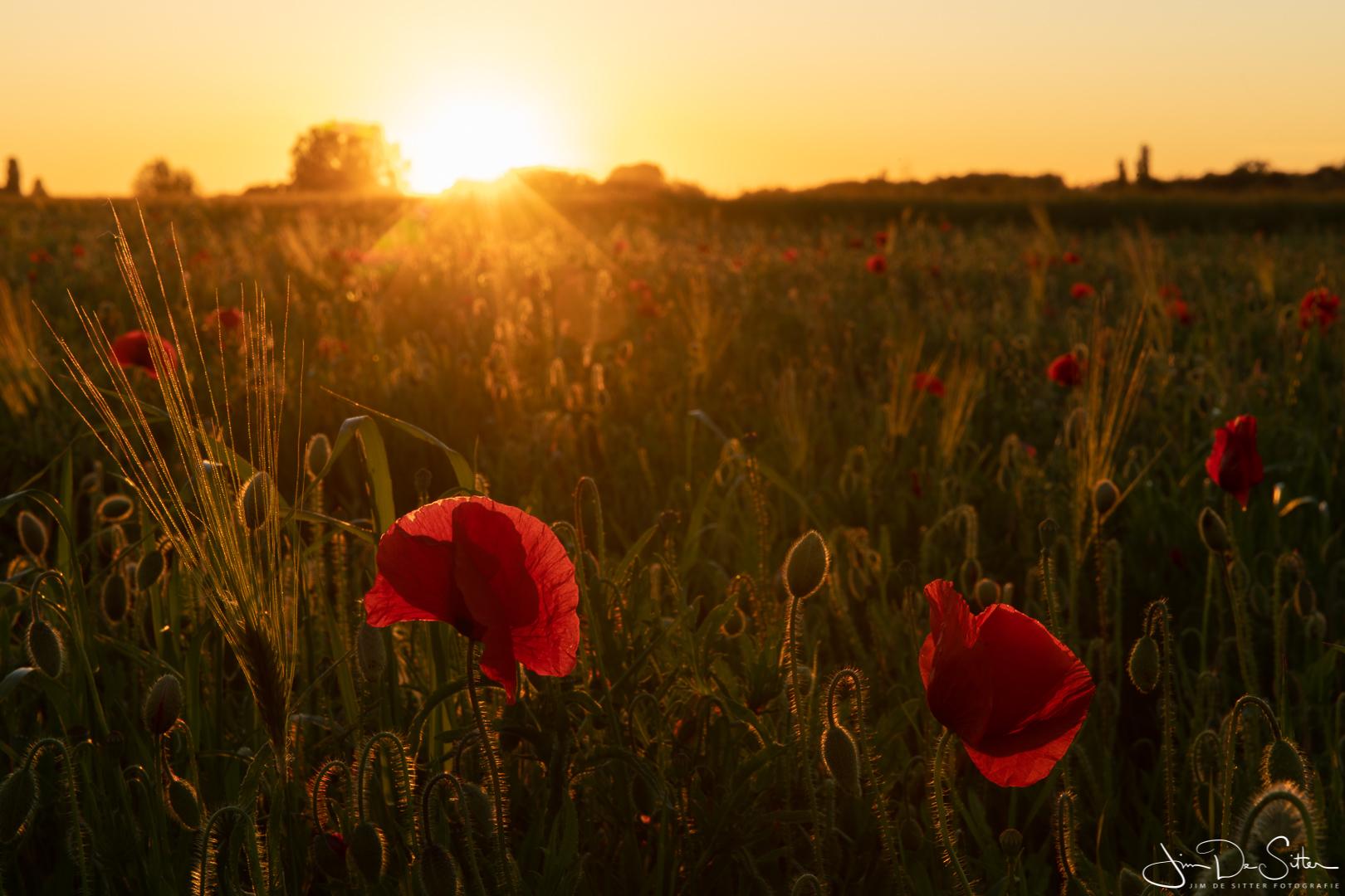 Landschapsfoto : Klaprozen. De Poppies van Humbeek