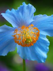 Himalayan blue poppy in the garden