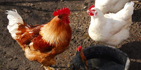 Culgower House chickens