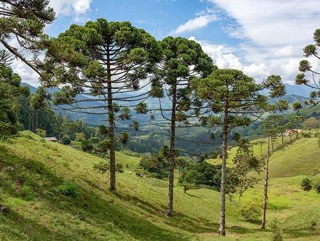 Aproveitamento legal de araucárias e outras árvores.