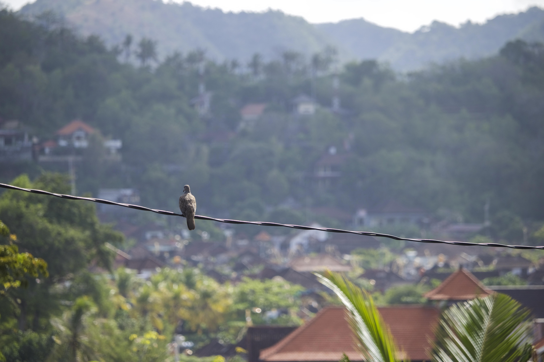 PigeonPadangBai