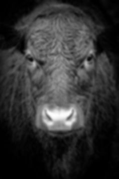 Bull Richard Gatley
