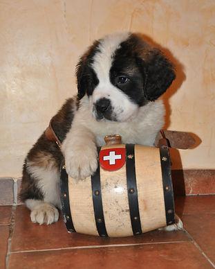 16-02-01 chiot st-bernard puppy 018.JPG