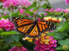Monarch Queen