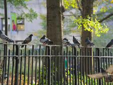 Pigeon Lineup