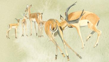 Robin Pope Safaris Impala