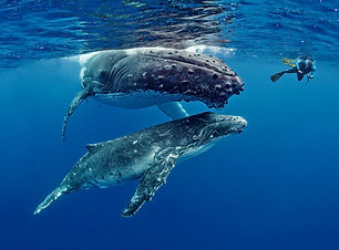 Whales-and-scuba-diver-in-Tonga.jpg