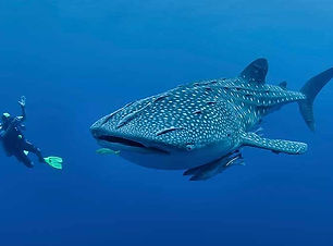diving-with-whale-shark-philippines.jpg