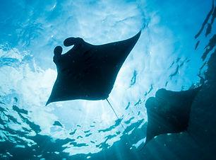 manta-rays.jpg