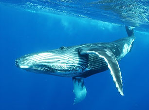 xl-french_polynesia-moorea-whale-safari-