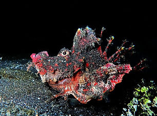Lembeh-Devil-Scorpion-Fish-800x533.jpg
