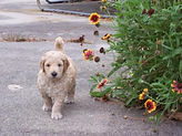 Goldendoodle pup stping to smell th flowers