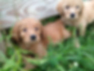 Goldendoodle Reds