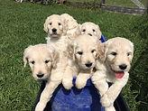 Bucket O Goldendoodles